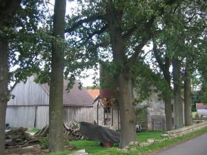 Hoefeweg-Eichen4