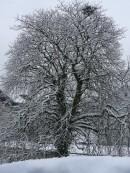 Wie kommt die Kastanie unbeschadet durch den eisigen Winter?