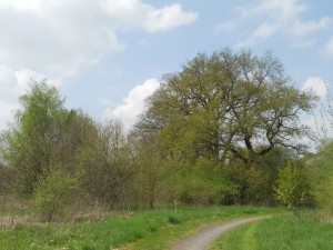 Heeper-Friedhof-Eichen