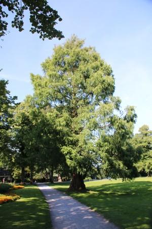 Mammutbaum zwischen Stauteich 2 und 3 (4)
