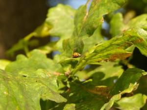 Eine Eiche ist ein Kosmos. Bis zu 300 Tier-, Pilz- und Pflanzenarten können auf einer alten Eiche leben; hier ein Marienkäfer.