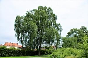 Weiß-Birke (3) am Stauteich3