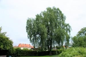 Weiß-Birke (4) am Stauteich3