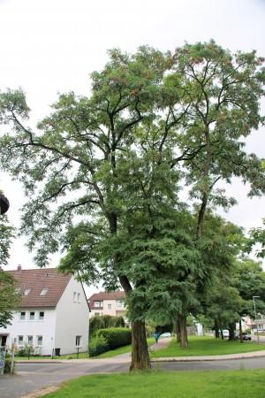 Robinie am Ehlentruperweg (3)