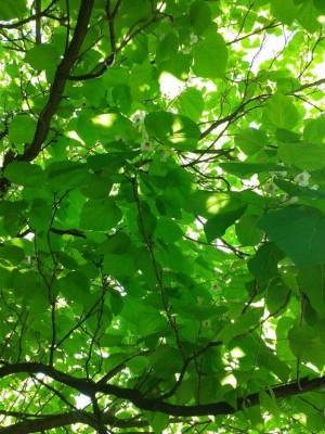 Trompetenbaum1